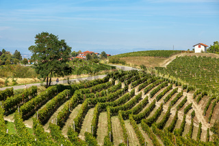 Green vineyards on the hills of Piedmont, Italy.