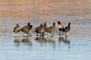 group of coots ( fulica atra ) standing together on icy lake