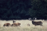 Red Deer stag scenting between hinds and calfs