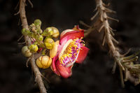 Beautiful tropical Cannon ball tree flower