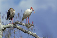 American White Ibis rest on the branch of Cypress