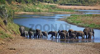 Elefanten am Fluss im Kruger Nationalpark Südafrika; african elephants at a river, south africa, wildlife