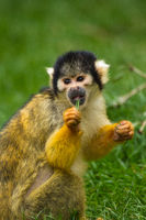 squirrel monkeys (Saimiri)