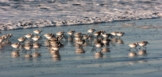 Sandpiper Birds Run Up Beach Feeding Sand Ocean Surf