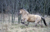 Heck Horse stallion gallops in a forest