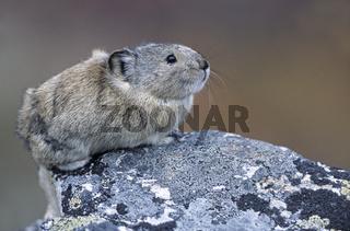 Alaska-Pfeifhase sitzt auf einem Felsen  haelt nach Fressfeinden Ausschau - (Halsbandpfeifhase - Pfeifhase) / Collared Pika sitting on a rock  keeps lookout for natural enemies - (Pika) / Ochotona collaris