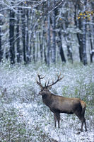 Red Deer stag in a snowy-covered forest glade