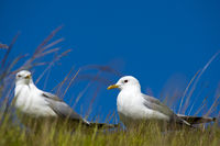 A couple of European Herring Gulls