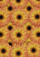 Background from large orange gerber