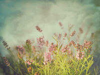 Lavender flowers with vintage color filters