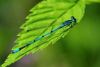 1 BA  Blaue Federlibelle.jpg