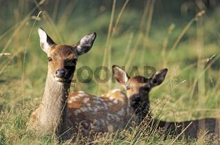 Unterart: Japan-Sika - Sikatier und Sikakalb ruhen auf einer Waldwiese - (Japanischer Sikahirsch) / Subspecies: Japanese Sika Deer hind and fawn resting in a forest meadow - (Spotted Deer - Japanese Deer) / Cervus nippon - Cervus nippon (nippon)
