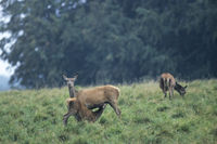 Red Deer dam nursing her calf on a forest meadow