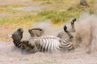 Plains Zebra in dust