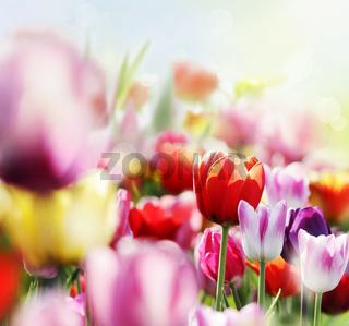tulpenblüte im licht