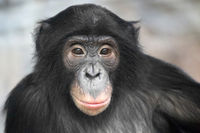 Bonobo Bashira