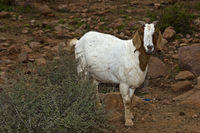 White goat with brown head