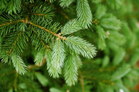 green needles of pine tree as natural background