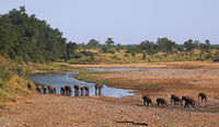 african elephants at a river, south africa