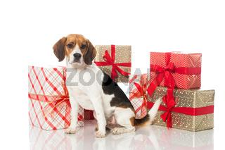 Beagle mit Geschenken