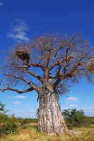 monkey-bread tree, Mapungubwe National Park, SA