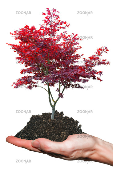 Red Japanese Maple Tree in hand