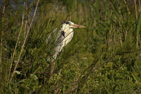 Hiding Grey Heron