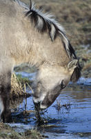 Heck Horse colt feeding aquatic plants