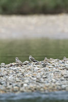 Sand-colored nighthawks