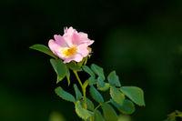 Closeup Of A Pink Rose