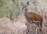 klipspringer, south africa, wildlife