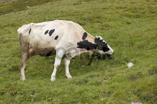 Kuh weidet auf einer Almweide Ötztaler Alpen,Tirol