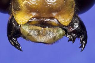 Libelle-Mundwerkzeuge