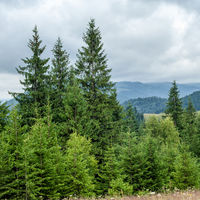 Foggy morning landscape with pine tree highland forest at Carpathian mountains. Ukraine destinations and travel background