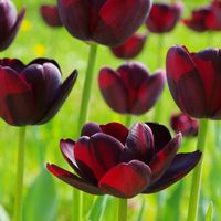 Tulpe Queen of Night - tulip Queen of Night 02