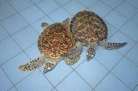 2 ca. 2 Jahre alte echte Karettschildkröten (Eretmochelys imbric