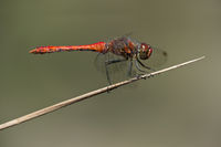 Male of Ruddy Darter