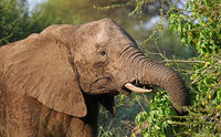 head of an african elephant south africa