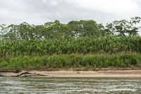 Succsessional forest at the Tambopata river