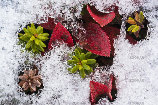 plants in snow, Lapland, Sweden