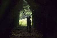 Red Deer hart standing in a forest aisle