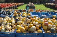different marrows and squashes, pumpkins, for sale, Germany, Europe, Hofverkauf von Kübissen, Deutschland, Europa