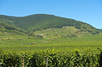 Alsatian vineyards near Kientzheim, Alsace, France
