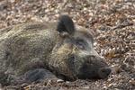 Schlafendes Wildschwein, Keiler / Sus scrofa