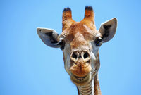 giraffe with blue sky, Kruger national park, SA