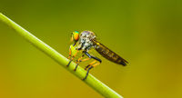 Asilidae (robber fly) sits on a blade of grass. Thailand