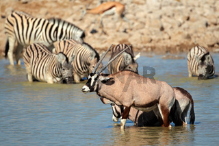 Gemsbok and zebra in water