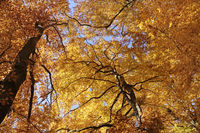 Autumnal beech forest