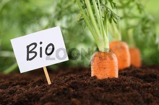 Bio Karotten im Gemüse Garten