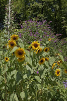 Sunflowers and butterfly bush in Summer, Germany